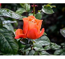 Rose Fellowship bud Photographic Print