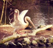 A pelican in Lille zoo Sticker