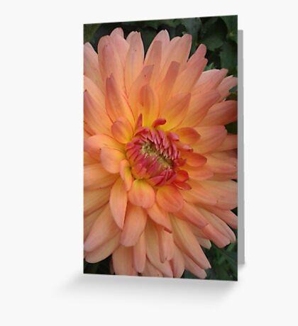 Beautiful peach colored dahlia Greeting Card