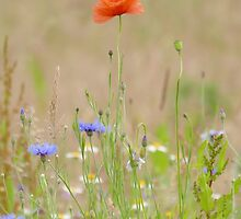 """And the winner is """"Poppy and Cornflower"""" by jesika"""
