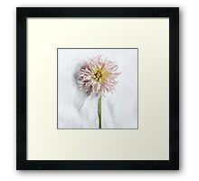 Pink and Yellow Dahlia Framed Print