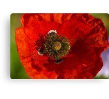red poppy in morning sun Canvas Print
