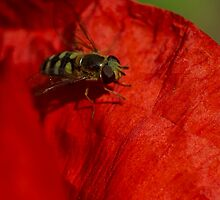 hoverfly on red poppy petal by stresskiller