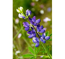 Lupine Photographic Print