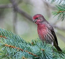 Male House Finch by littlecritters