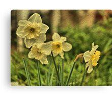 Nodding Golden Daffodils Canvas Print