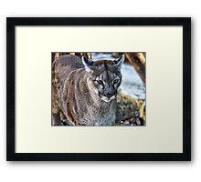 A Stunning Mountain Lion Framed Print