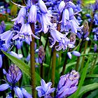 Bluebells by Charmiene Maxwell-batten