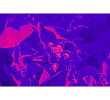 Lettuce flower IR Photographic Print