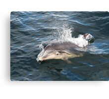 Bottlenose dolphin bow riding Canvas Print