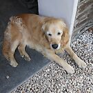 Meet Millie, The Golden Retriever by BlueMoonRose
