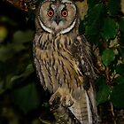 Long Eared Owl (Asio otus) - VI by Peter Wiggerman
