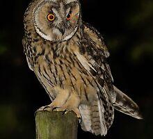Long-Eared Owl (Asio otus) - I by Peter Wiggerman