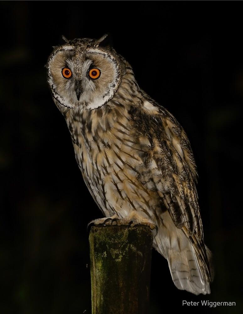Long Eared Owl (Asio otus) -VII by Peter Wiggerman