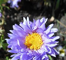 Dancing Purple and Golden Aster by kathrynsgallery