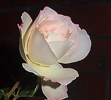 My rose . . . growing in Kilmore East Vic Australia by Margaret Morgan (Watkins)
