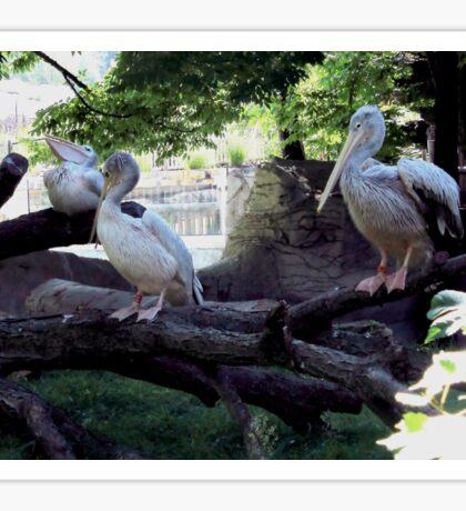 Pelican Roost Sticker