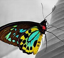 Goliath Birdwing Butterfly by fernblacker