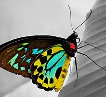 Goliath Birdwing Butterfly by fernblacker