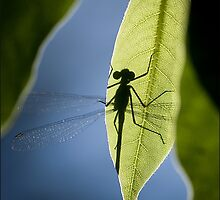 dragonfly silhouette  by Sandy  Taylor Photography