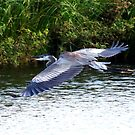 GREAT BLUE HERON IN FLIGHT by TomBaumker