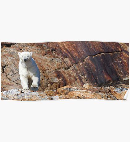 Ours polaire - Polar Bear [panorama] Poster