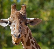 Giraffe at Denver Zoo by Teresa Smith