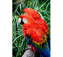 Scarlet Macaws Photographic Print