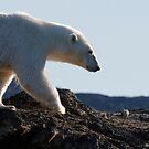 Ours polaire - Polar Bear by Yves Roumazeilles