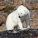 Ours polaire - Polar Bear [panorama] by Yves Roumazeilles