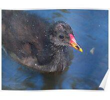 Baby Swamp Hen ... Poster