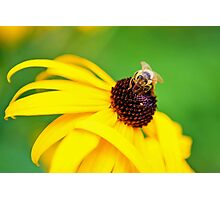 Bumble Bee on a Yellow Flower Photographic Print