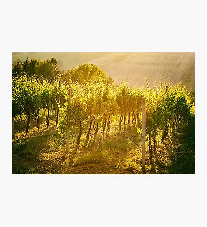 Vineyard rows in Marche, Italy Photographic Print