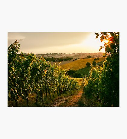 Vineyard fields in Marche, Italy Photographic Print