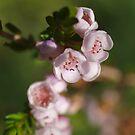 Wildflowers of Western Australia (5) by kalaryder