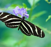 Zebra Longwing - Heliconius charitonia by Poete100