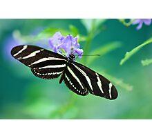 Zebra Longwing - Heliconius charitonia Photographic Print