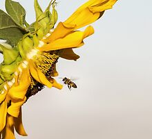 Bee Flying to Sunflower by saaton