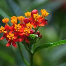 Lantana flowers - a favorite for the butterflies by Poete100