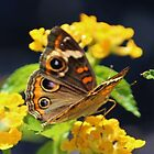 Common Buckeye On Flower by Cynthia48