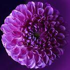Dahlia in purple by bubblehex08