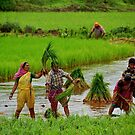 Farmers In Paddy Field by Charuhas  Images