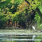 White Egret on the River Bank by lorilee