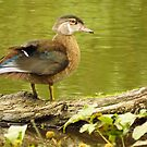 Young Drake Wood Duck  by lorilee