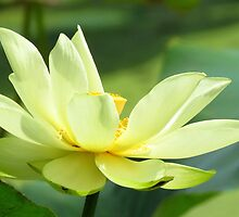 Lovely American Lotus  by lorilee