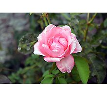 Pink rose, natural background. Photographic Print