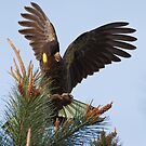 Yellow Tailed Black Cockatoo by Chris Cobern