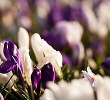 Spring by LouiseGroom
