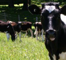 Jersey Cows Sticker