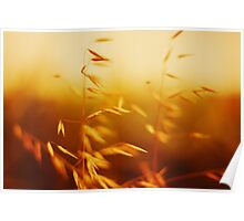 Idyllic rural scene in sunset. Oat close up view. Poster